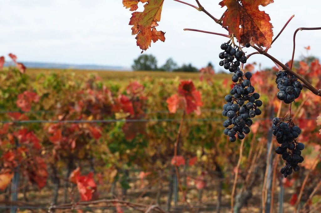 Wein Reben im. Herbst